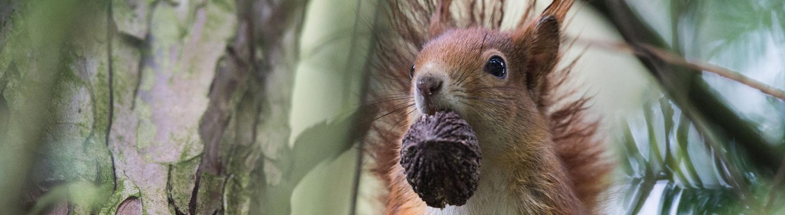 Ein Eichhörnchen mit einem Zapfen im Maul
