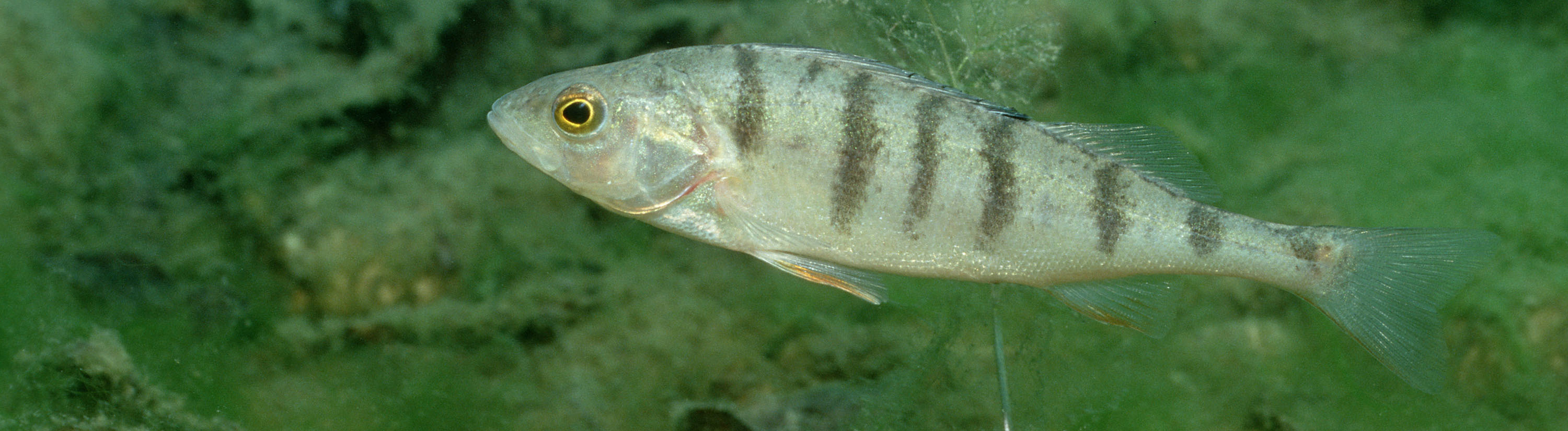 Dec 28, 2008 - Bavaria, Germany - Perch, Perca Fluviatilis. Exact date unknown. fish, swimming, plants, freshwater +++(c) dpa - Report+++