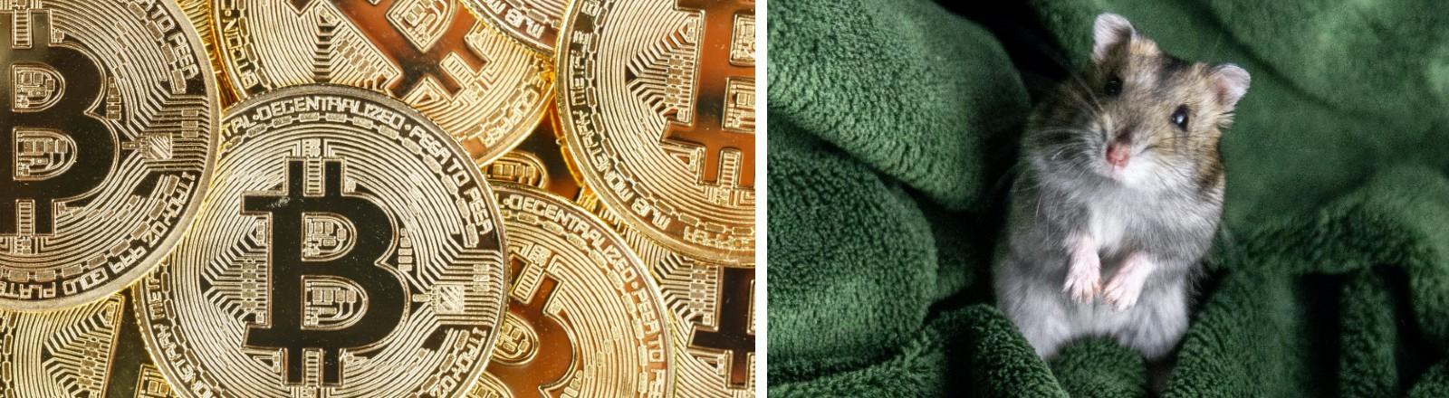 Auf der Collage sieht man links im Bild Münzen der Kryptowährung Bitcoin und rechts einen Hamster.