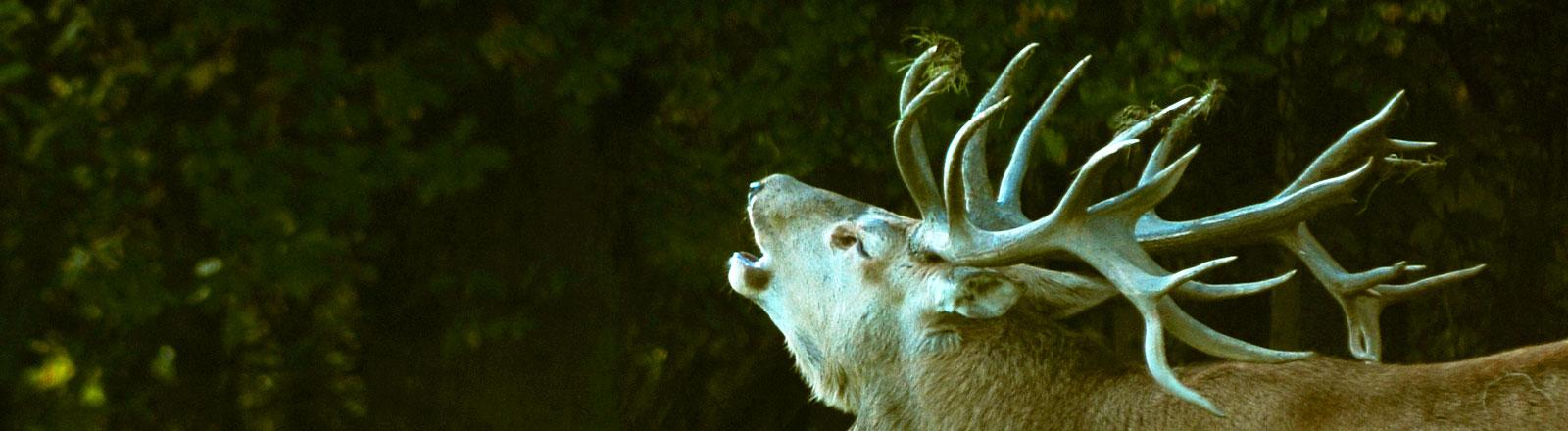Röhrender Hirsch mit Geweih im Wald