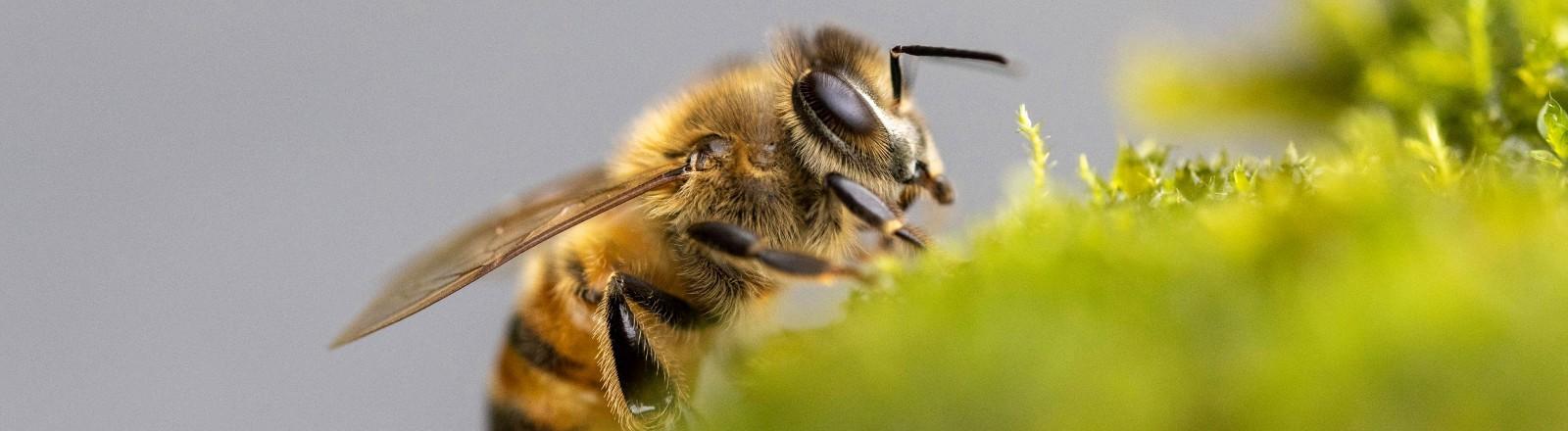 Eine Honigbiene sammelt Flüssigkeit ein.