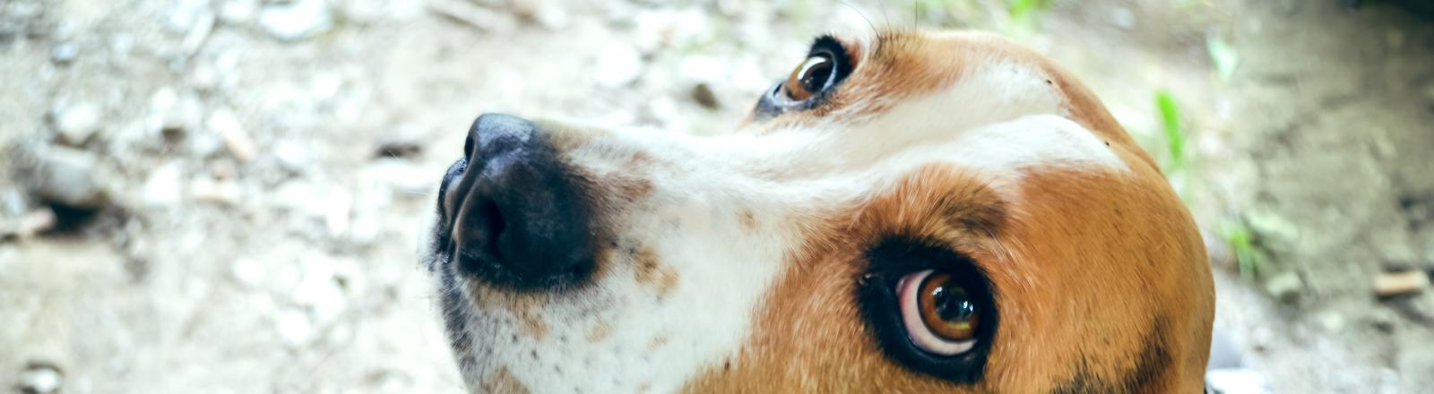 Eine Beagle schaut nachh oben