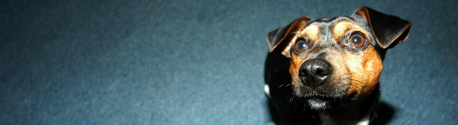 Hund sitzt auf einem blauen Teppichboden und schaut hoch