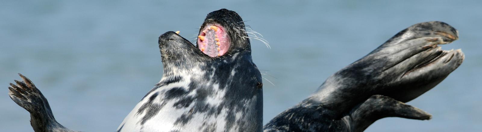 Kegelrobbe, Halichoerus grypus, rastet am Strand auf der Düne bei der Insel Helgoland.