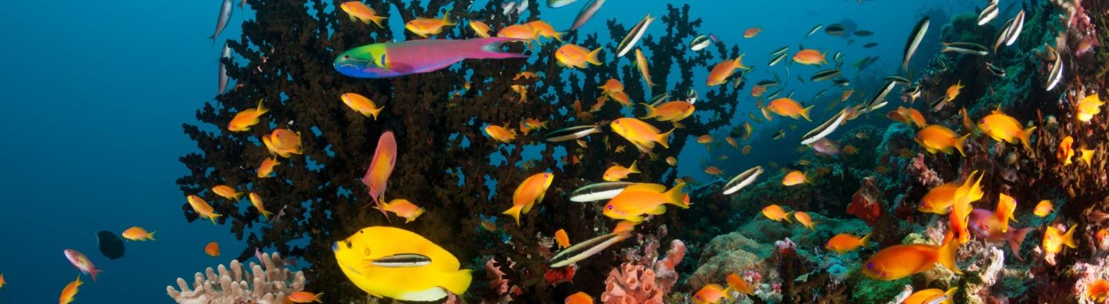 Das bunte Korallenriff Ari Atoll im Indischen Ozean.