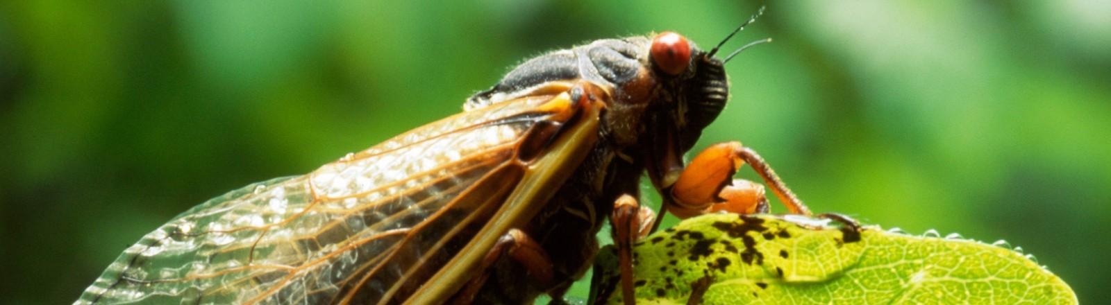 Eine Singzikade (Magicicada septendecim) sitzt auf einem Blatt.