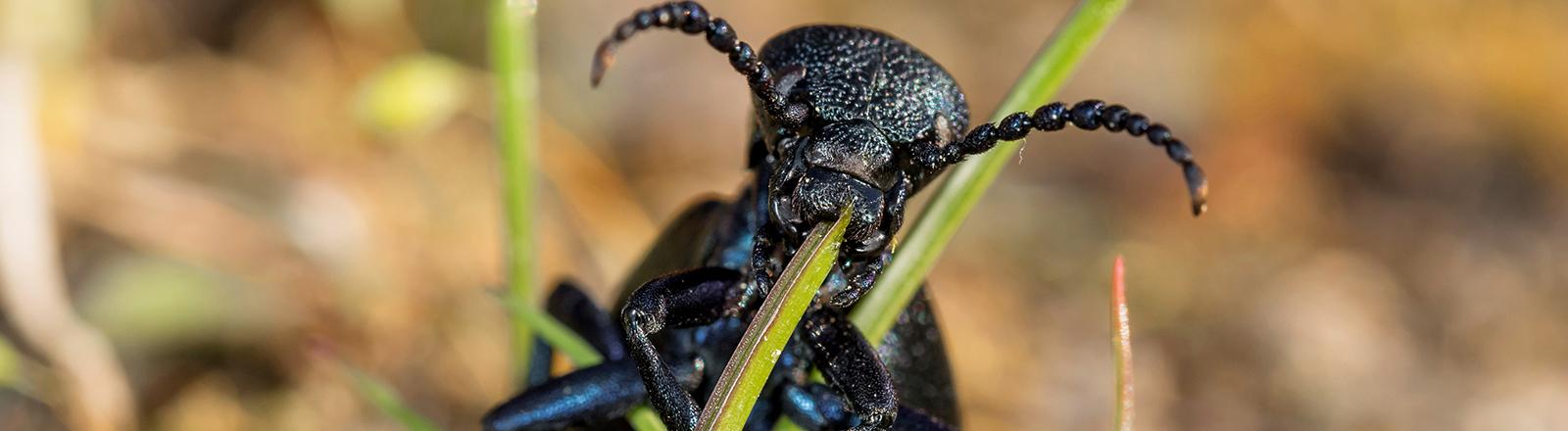 Grasfresser: Der schwarzblaue Ölkäfer oder Meloe proscarabaeus bei der Nahrungsaufnahme