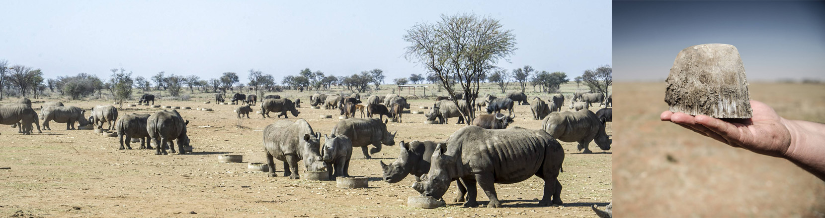 Nashörner und ein abgesägtes Nashorn