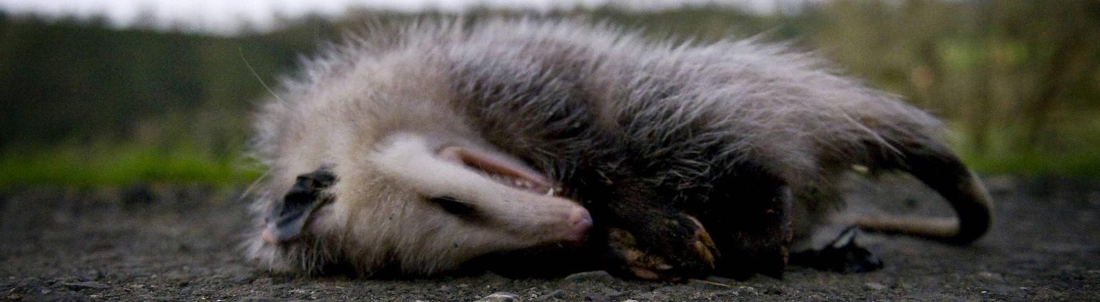 Ein Opossum stellt sich tot