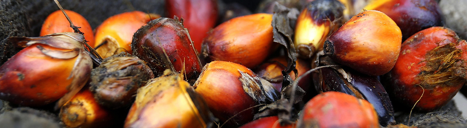"""An Indonesian palm oil farmer displays some of the palm harvest, in Tamiang, Aceh, Indonesia, 15 December 2015. A EPA/HOTLI SIMANJUNTAK (zu dpa """"Studie: Ersatz von Palmöl kann Umweltprobleme verschärfen"""" vom 30.08.2016)"""