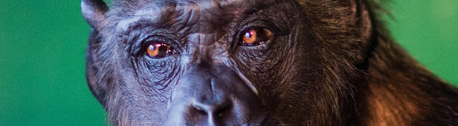 """Schimpanse Robby verweilt am 03.12.2015 in seinem Gehege am Zirkus «Belly» in Celle (Niedersachsen). Das Verwaltungsgericht in Lüneburg entscheidet über Robbys Zukunft, nachdem die Veterinärbehörden die Genehmigung zur Zirkushaltung nicht mehr verlängert hatten. Foto: Julian Stratenschulte/dpa (zu dpa """"Verwaltungsgericht entscheidet über Zirkusaffen"""" vom 04.11.2015"""
