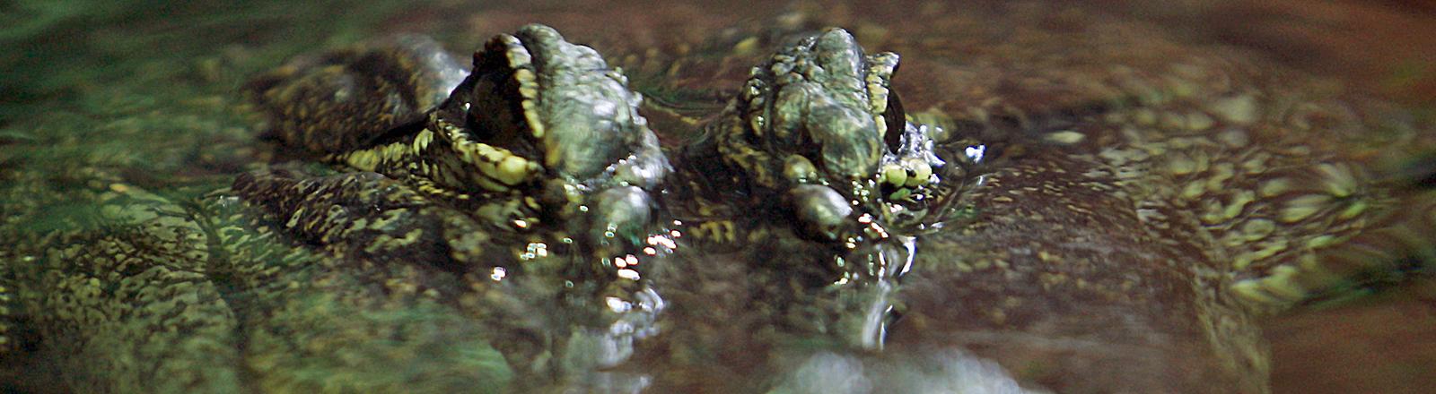 Ein Krokodil schaut am Mittwoch (18.10.2006) im Tierpark Hellabrunn mit seinen Augen aus dem Wasser. Alle heute lebenden Krokodile leben in Flüssen und Seen der Tropen und Subtropen, nur das Salzwasserkrokodil kann auch im Meer leben und kommt häufig an den Küsten verschiedener Inseln vor. Als Anpassung an ihren Lebensraum können die Tiere sehr gut schwimmen und tarnen sich im Wasser, indem sie vollständig bis auf Augen und Nasenlöcher untertauchen. Foto: Matthias Schrader dpa/lby +++(c) dpa - Report+++