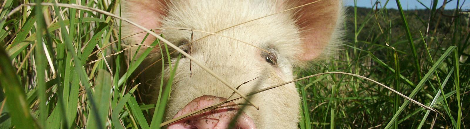 Ein Schwein im Gras