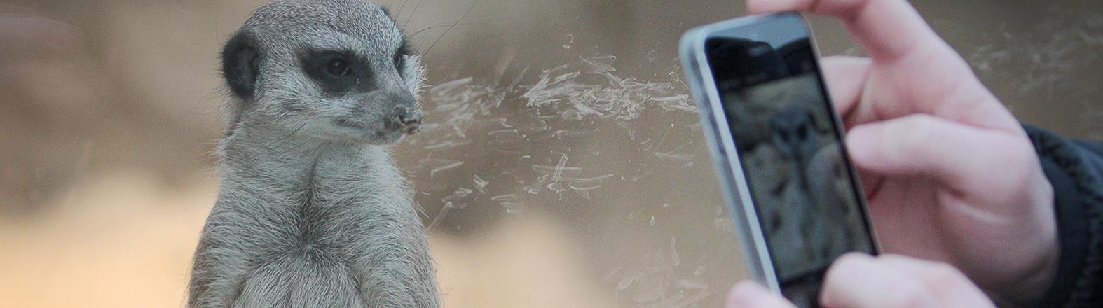 Ein Erdmännchen posiert am 08.03.2015 im Zoo in Frankfurt am Main (Hessen) für die Smartphone-Kamera eines jungen Besuchers. Foto: Fredrik von Erichsen/dpa