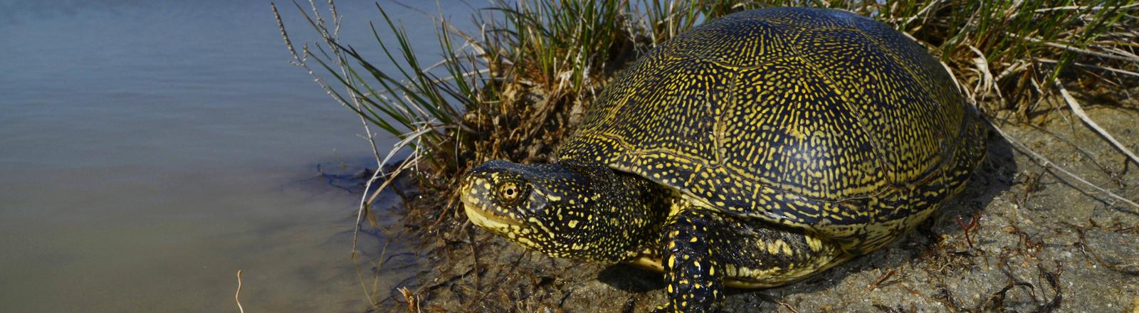 Europäische Sumpfschildkröte