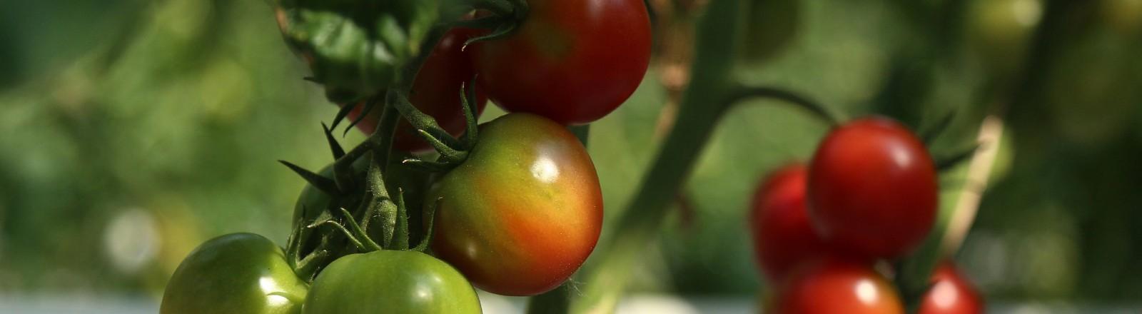 Tomatenanbau auf einer Plantage in Russland.