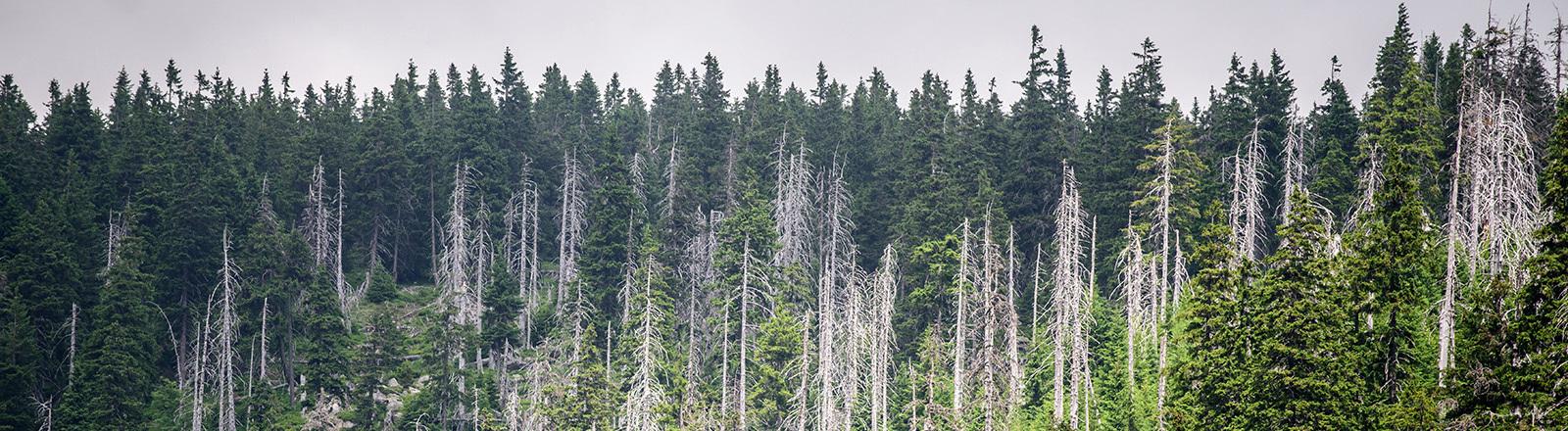 Im Riesengebirge stehen gesunde und kranke Bäume teilweise direkt nebeneinander, aufgenommen am 06.07.2015 in der Nähe von Spindlermühle (Tschechien). Foto: Thomas Eisenhuth/dpa