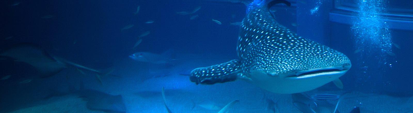 Größtes Becken im Aquarium Osaka: ASIEN, JAPAN, OSAKA, 18.12.2013: Das Kaiyukan in Osaka ist eines der größten Aquarien der Welt. In 16 Bassins mit mehr als 11.000 Tonnen Wasser können seit der Eröffnung 1990 mehr als 30.000 Lebewesen aus 580 verschiedenen Arten von Vögeln, Fischen, Säugetieren und Reptilien aus der ganzen Welt betrachtet werden. Das größte Becken im Kaiyuukan ist das Herzstück des Aquariums. Mehr als fünf Millionen Liter Wasser verteilen sich über eine Höhe von neun Metern hinter mehreren Stockwerken mit bis zu sechs Meter breiten Fenstern aus 30cm dicken Plexiglas. Highlight des Beckens ist ein Walhai, der größte Fisch