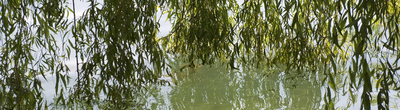 Eine Weide am Wasser