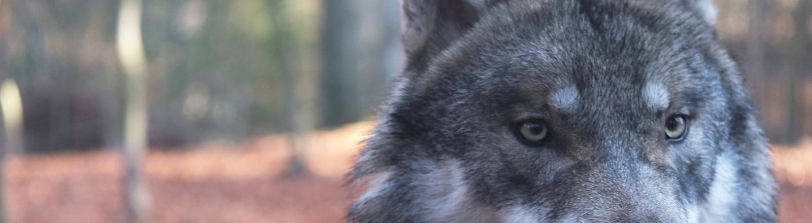 Ein Wolf im Tiergehege des Hexentanzparks Thale im Harz