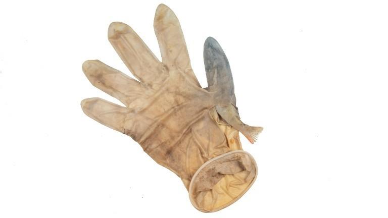 Ein Barsch hat sich in einem medizinischen Handschuh verfangen.