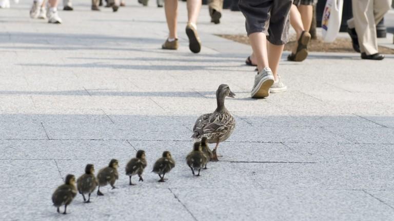 Eine Entenmutter läuft mit ihren Jungen über eine Straße zum Wasser.
