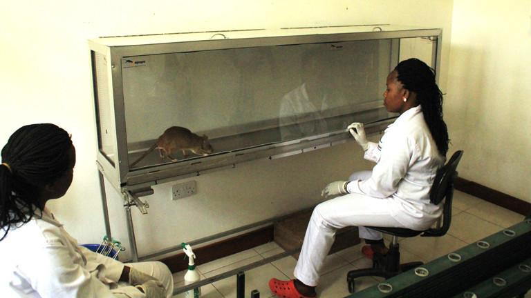 Die Spürratten im Forschungszentrum von Apopo, können Tuberkuloseproben erschnüffeln.