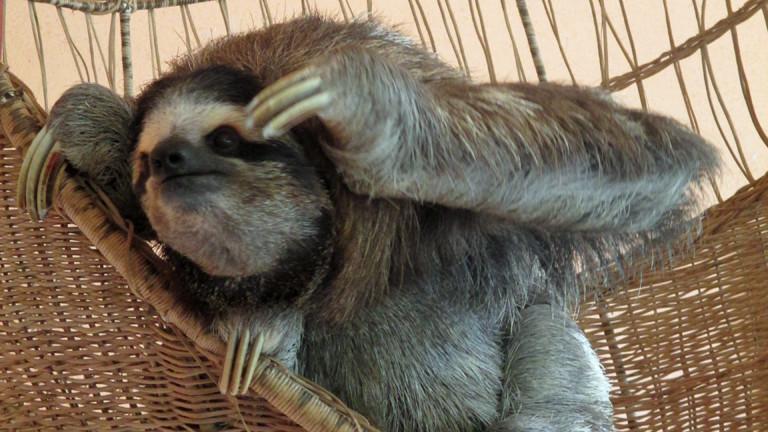 Ein Faultier im Sloth Sanctuary.
