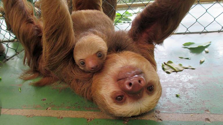 Faultiere im Sloth Sanctuary.