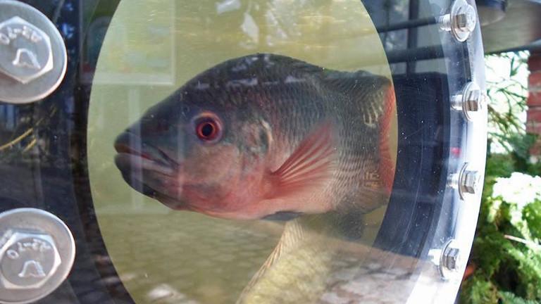 Hinter einem Bullauge schwimmt ein grau-rötlicher Fisch. Es ist ein Süßwasserbarsch.