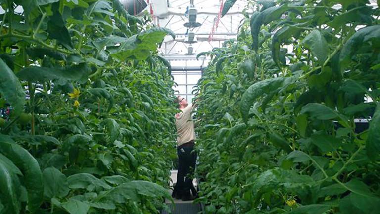 In einem Gewächshaus stehen in zwei langen Reihen große Tomatenpflanzen. In dem schmalen Gang dazwischen pflückt ein Mann Tomaten.