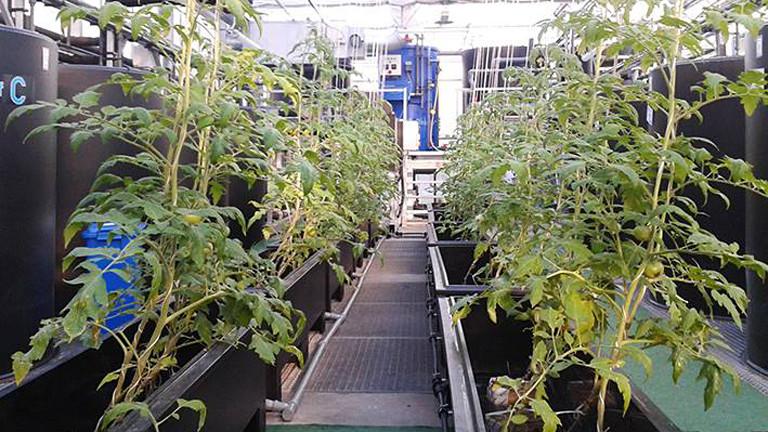 In einem Gewächshaus stehen zwei Reihen von Tomatenpflanzen in schwarzen Kübeln, ohne Erde darin.