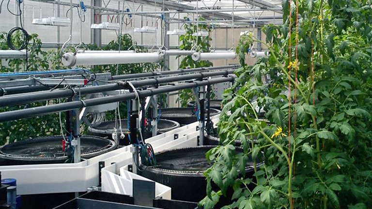 Blick in ein Gewächshaus. Rechts stehen große Fässer, die über Rohre miteinander verbunden sind. Links wachsen hohe Tomatenpflanzen.