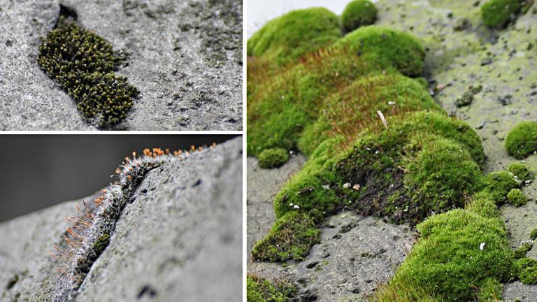 Eine Collage aus drei Fotos. Auf allen ist Gestein zu sehen, auf dem grüne und grau-orange Moose wachsen.