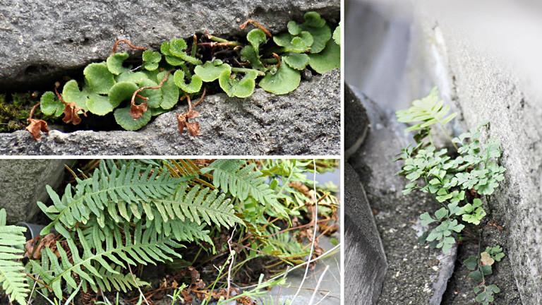 Collage aus drei Fotos. Auf allen sind Gesteinsritzen, in denen Pflanzen wachsen. Unter anderem ein kleiner Fan.