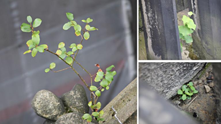 Eine Collage aus drei Fotos. Darauf ist Gestein des Kölner Doms zu sehen auf dem Pflanzen wachsen. Unter anderem ein kleiner Baum.
