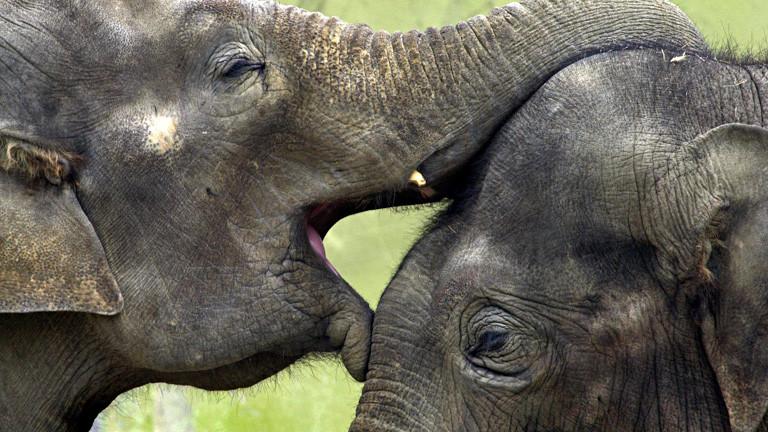 Zwei Elefanten spielen miteinander. Der eine legt seinen Maul und seinen Rüssel an und auf den Kopf des anderen; Bild: dpa