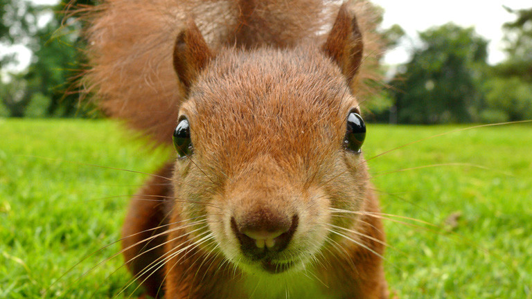 Ein Eichhörnchen sitzt auf einer Wiese ganz dicht vor der Kamera und schaut. Das Maul ist geöffnet und zeigt zwei kleine Nagetierzähne.