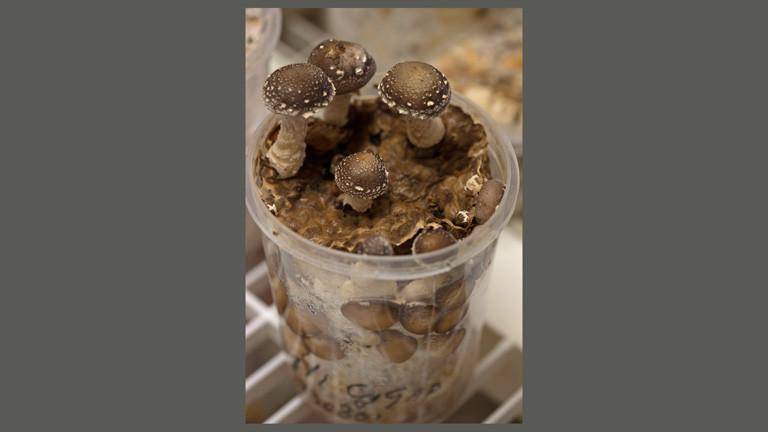 In einem Plastikbecher wachsen Pilze.