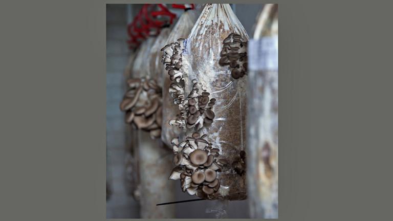Eine Plastiktüte hängt an einem Haken zwischen anderen Tüten. Aus den Tüten wachsen braune Pilze.