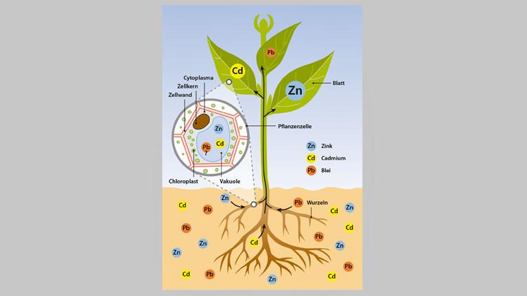 Zeichnung, die schematisch das Phytomining darstellt. Eine Pflanze mit Wurzeln im Erdreich.