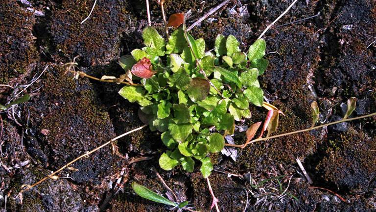 Die Hallersche Schaumkresse auf moosigem Boden. Eine grüne, niedrig wuchernde Pflanze.
