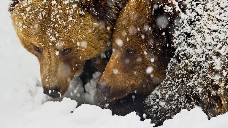 Zwei Braunbären spielen miteinander im Schnee.
