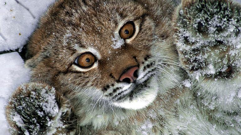 Ein junger Luchs liegt im Schnee auf dem Rücken und streckt die Pfoten in die Luft; Bild: dpa
