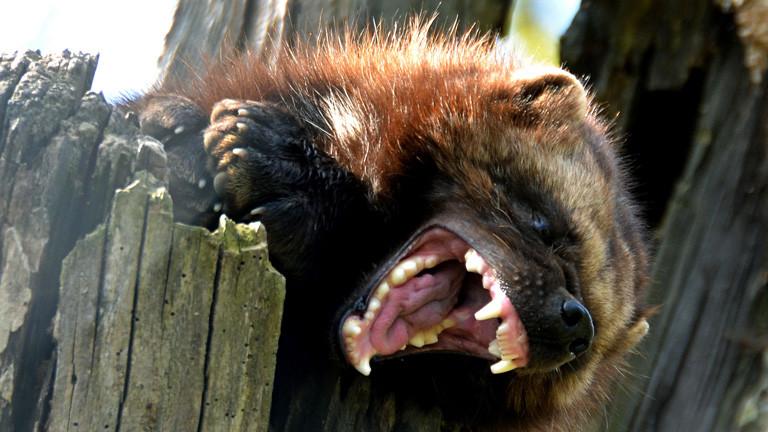 Ein Vielfraß hat das Maul aufgerissen und fletscht die Zähne. Ähnelt einem Marder; Bild: dpa
