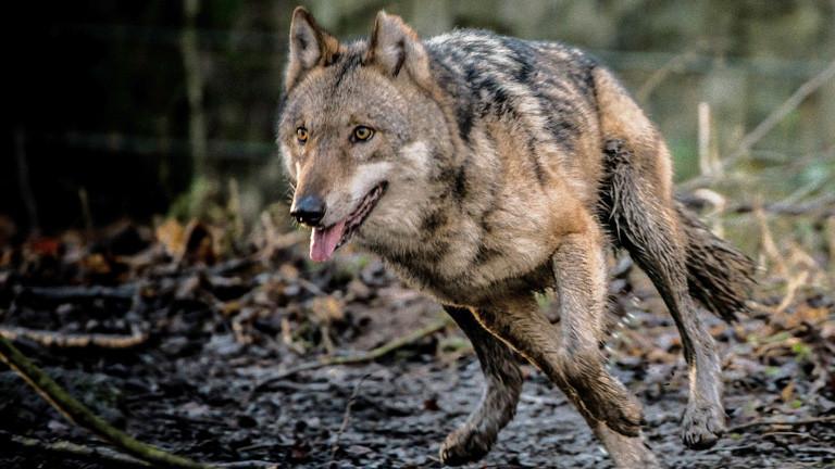 Ein Wolf im Lauf im Wald, es hat geregnet; Bild: dpa