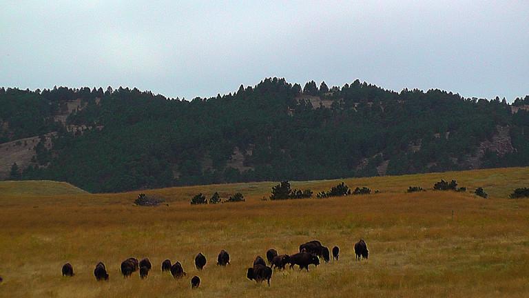 Eine Büffelherde vor den Black Hills.