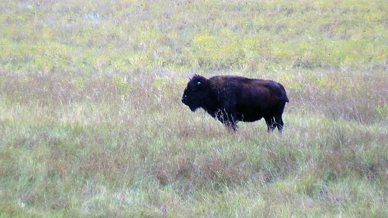 Der Büffel - das Symbol für South Dakota.