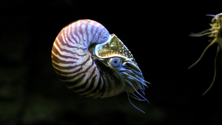 Nautilus oder Perlboot