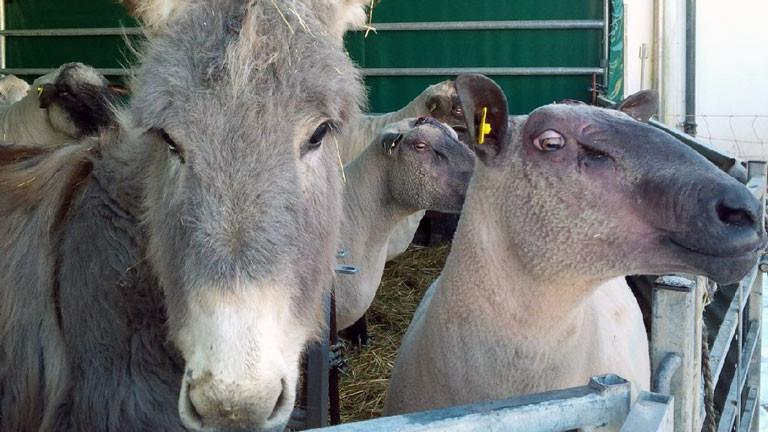 Eselstute Molli mit einem ihrer Schützlinge